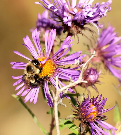 Bumble Bee Bumble Bee by Thomas Young