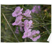Purple Gerardia Cluster Poster