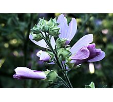 Wildflower series:  Wild Mallow No. 2 Photographic Print