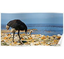 Cape Point Ostrich Poster