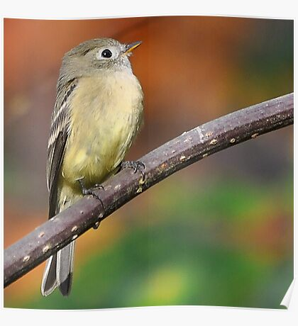 Hutton's Vireo Poster
