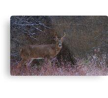 Snowy Buck - White-tailed deer Metal Print