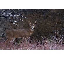 Snowy Buck - White-tailed deer Photographic Print