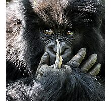 Mountain Gorilla, Volcanoes National Park, Rwanda, Africa. Photographic Print