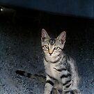 Tabby kitten by Lynn Starner
