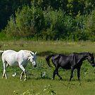 Horses and cattle egrets, WWF Oasi di Alviano, Umbria, Italy by Andrew Jones