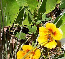 Bee On The Nasturtium 29 09 12 by Robert Phillips