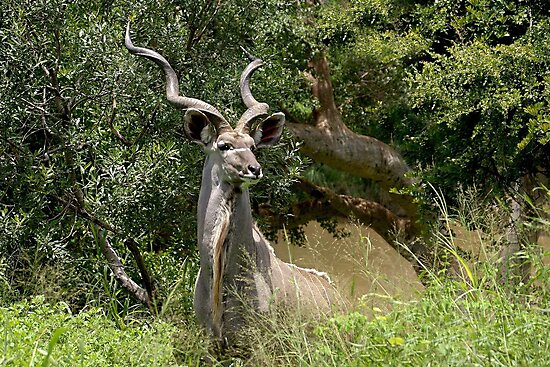 Greater Kudu by roger smith