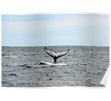 Hervey Bay Whale Watching Poster