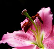 Lily stigma and stamen on black by flips99