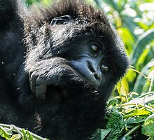 Mountain Gorilla, Volcanoes National Park, Rwanda, Africa. by Bernie Rosser