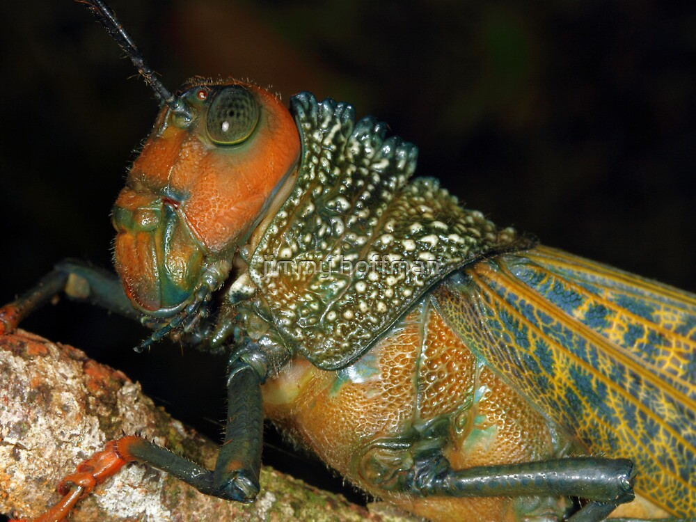 Giant grasshopper by jimmy hoffman