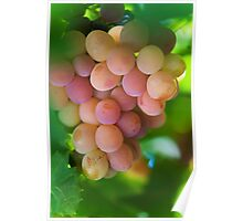 Harvest Time. Sunny Grapes VI Poster