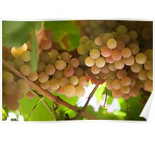 Harvest Time. Sunny Grapes V Poster