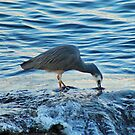 White-Faced Heron by Ursula Rodgers