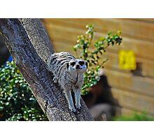 Meerkat on a tree Photographic Print