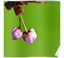 Love blooms with cherry blossoms Poster