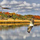 Osprey Sanctuary by Kathy Baccari