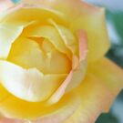 Yellow Rose by lovetoclick