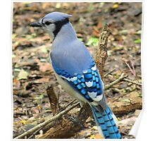A very blue bluejay Poster