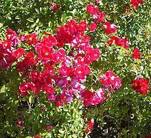 Rosebush by AJBPhotography