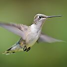 Black-chinned Female in Flight by Briar Richard