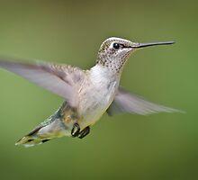Black-chinned Female in Flight by Briar Richard
