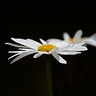Ox Eye Daisy on Black by SteveHphotos