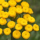 Yellow Tansy by Linda  Makiej