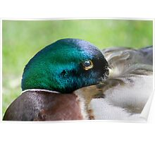 Keeping Watch - Mallard Drake Poster