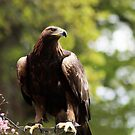 Her Name is Zeena - Golden Eagle  by Daisy-May