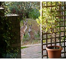 Floe & new Joey snooping closer to the house. Adelaide Hills. Photographic Print