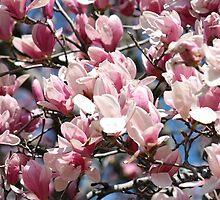 Magnolias by Chris  Bradshaw