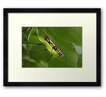 Blue Morpho Caterpillar Framed Print