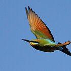 Rainbow bee-eater by paulinea