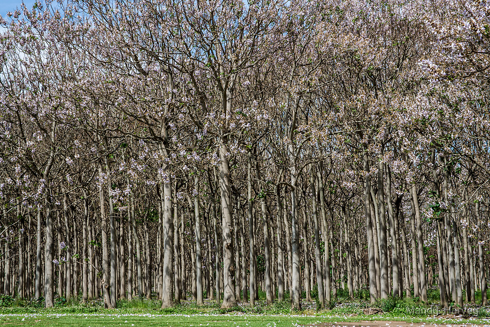 Tree Blossoms In Spring by Mandy  Harvey