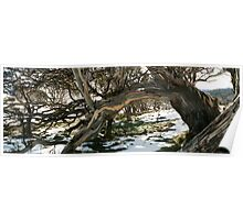 Snow Gum 2, Dead Horse Gap, Mt Kosciusko National Park Poster