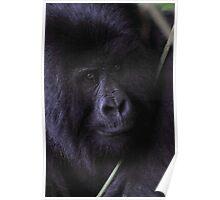Young Silverback Mountain Gorilla Poster