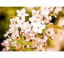 Antique Blossoms Photographic Print