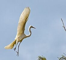 Sky Ballet - A Great Egret on the River Murray, Renmark, SA by Mark Richards