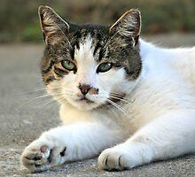 A cat named Cowboy by AngieBanta