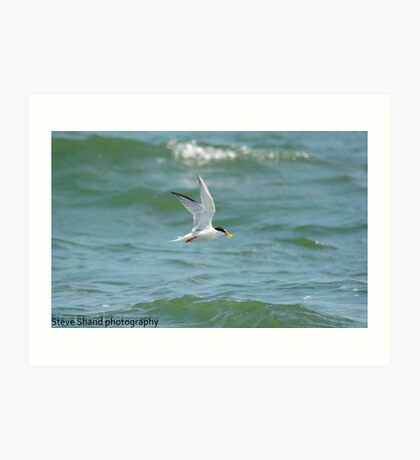 little tern with fish Art Print