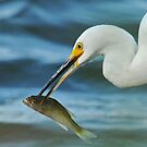 Snowy Egret by photosbyjoe