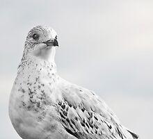 Pigeon Pride II by gmnick