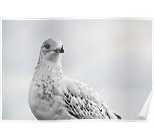 Pigeon Pride II Poster