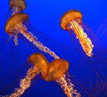 Jellyfish by stevefinn77