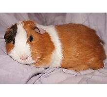 Cute Guinea Pig Photographic Print