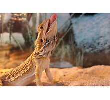 Funny Bearded Dragon Photographic Print