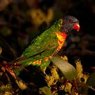 Rainbow Lorikeet in Yellow Gum by Janette Rodgers
