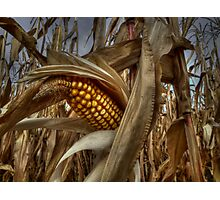 Thats A Bunch Of Corn! Photographic Print